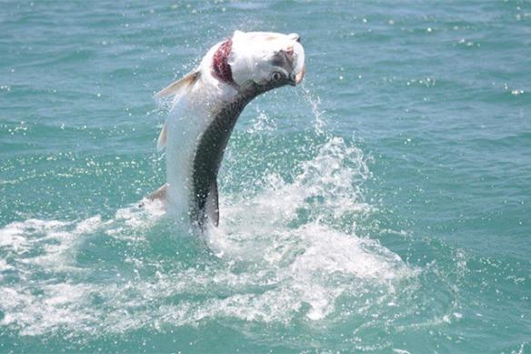 Tarpon leap in Florida