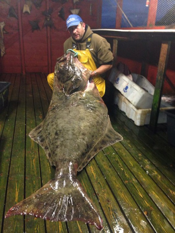 Big halibut caught in Norway