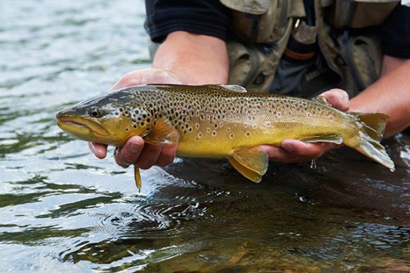 wild trout catch in Hemsedal waters