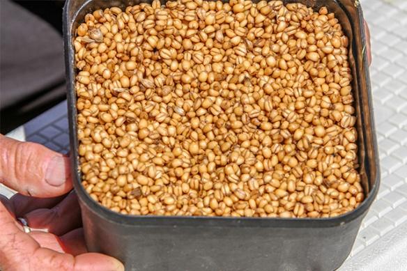 Wheat-blog