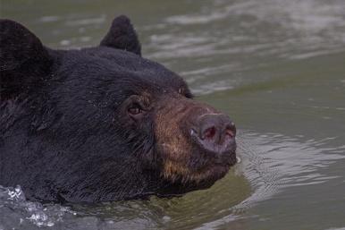 Black-bear-Fraser-River